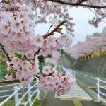 東北福祉大学の桜が迎える石窯ピザOgio