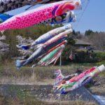 遠刈田温泉 桜と鯉のぼりの共存共栄