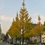 仙台市内の黄葉