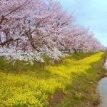 登米みなみかた千本桜 2010