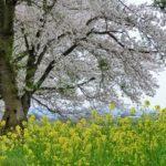 みなみかた千本桜