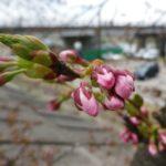 川岸の桜たち