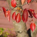 東北福祉大学野球場脇の桜の紅葉