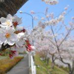 東北福祉大学の桜 2014