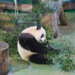 台北市立動物園で初めて見たジャイアントパンダに大興奮!